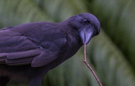 hawaiian-crow2
