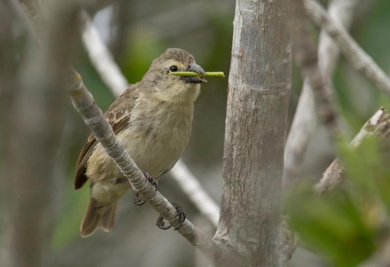 woodpecker-finch-dusan-brinkhuizen-4764-l